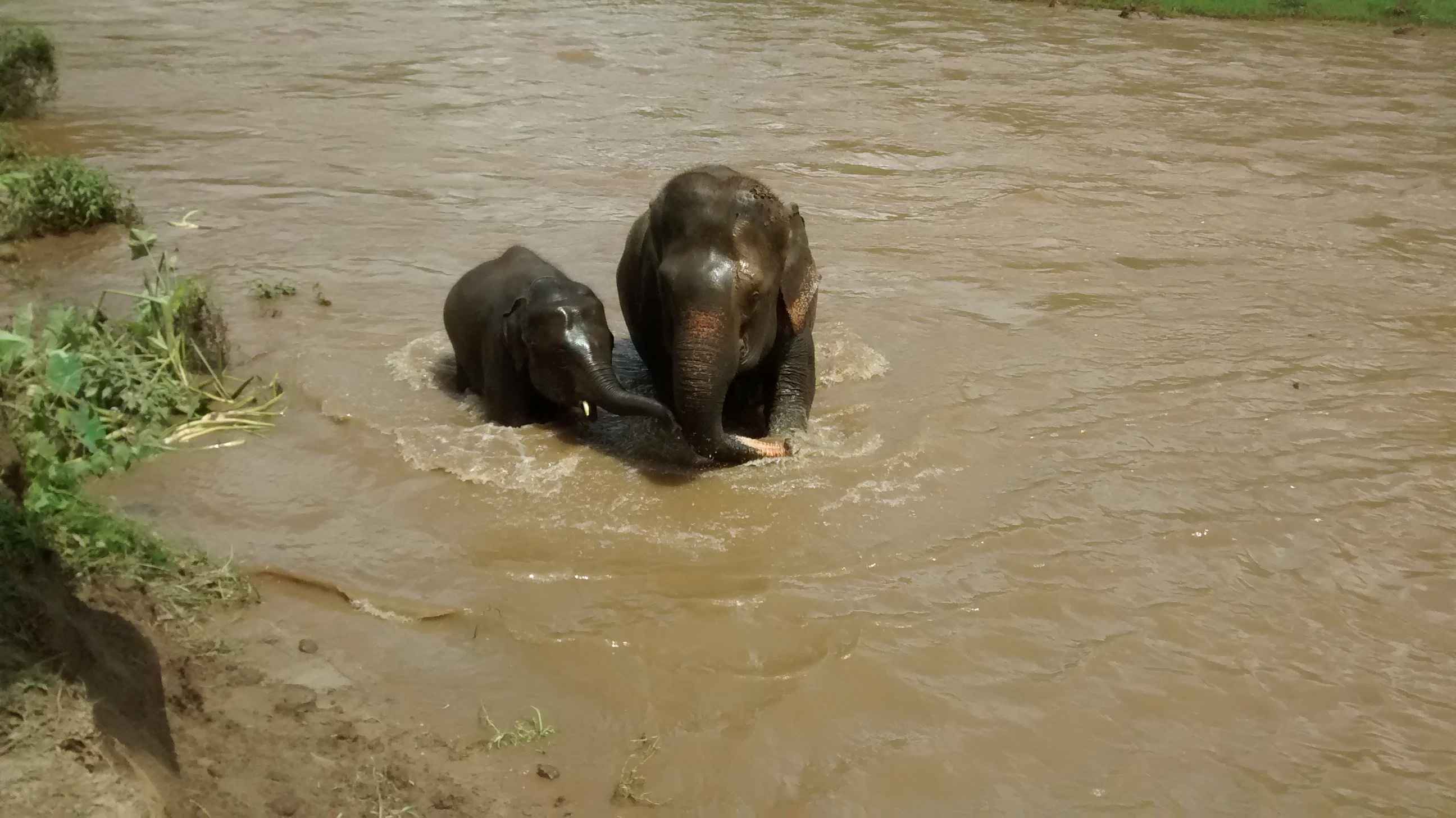 A quick swim with the elephants